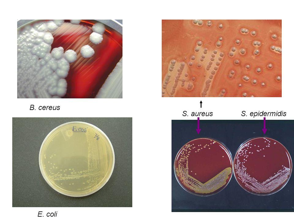 B. cereus S. aureus S. epidermidis E. coli