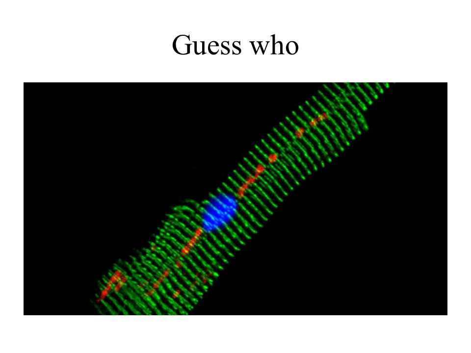 Guess who Cardiomyocyte