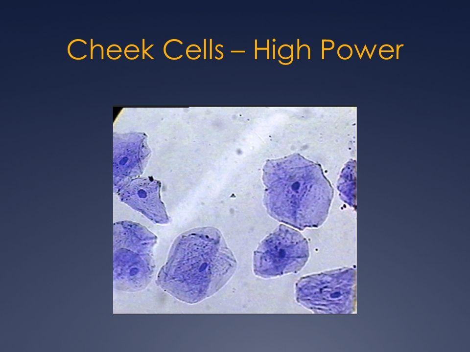 Cheek Cells – High Power