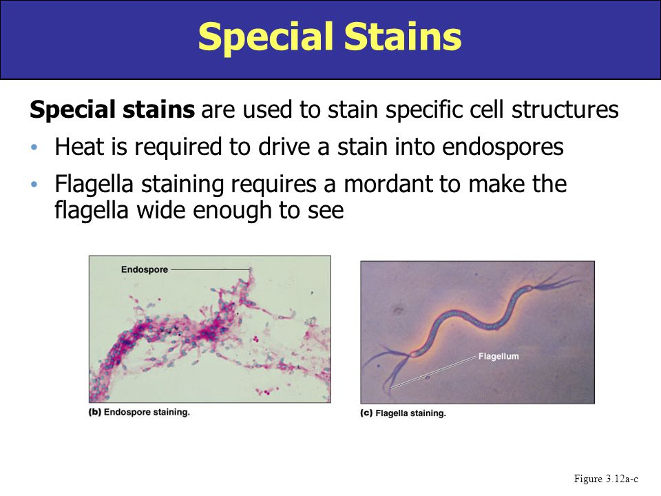 Special Stains Special stains are used to stain specific cell structures. Heat is required to drive a stain into endospores.