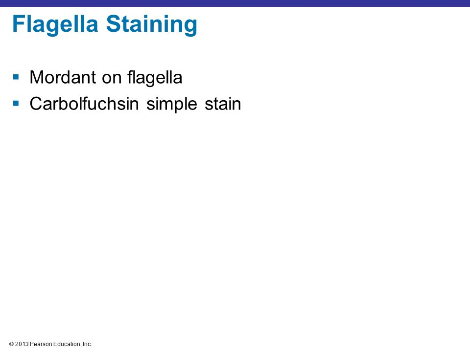 Flagella Staining Mordant on flagella Carbolfuchsin simple stain