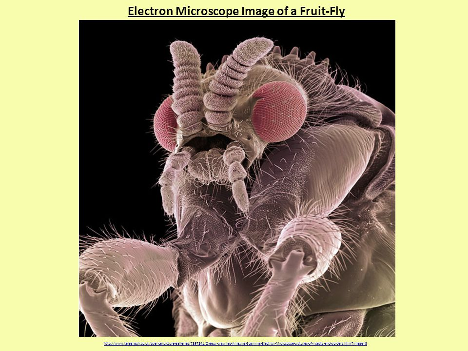 Electron Microscope Image of a Fruit-Fly