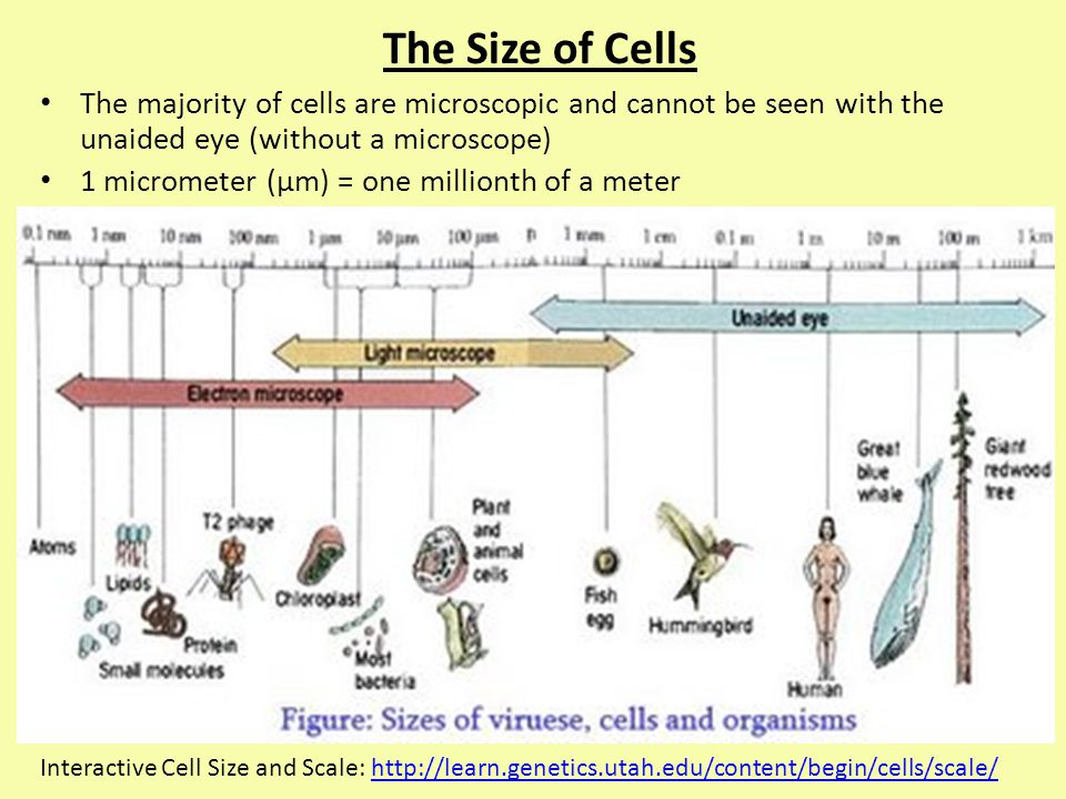 The Size of Cells The majority of cells are microscopic and cannot be seen with the unaided eye (without a microscope)