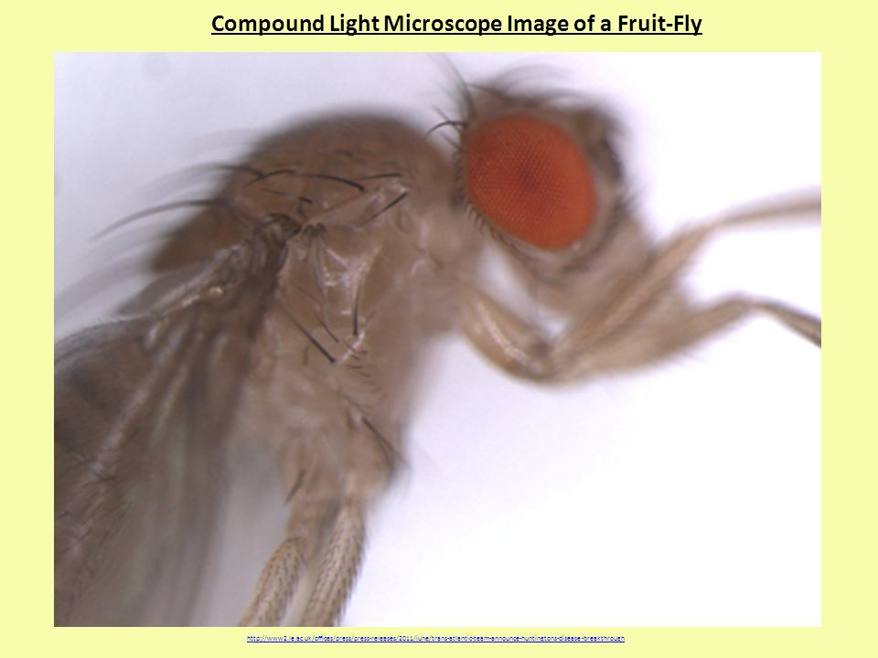Compound Light Microscope Image of a Fruit-Fly