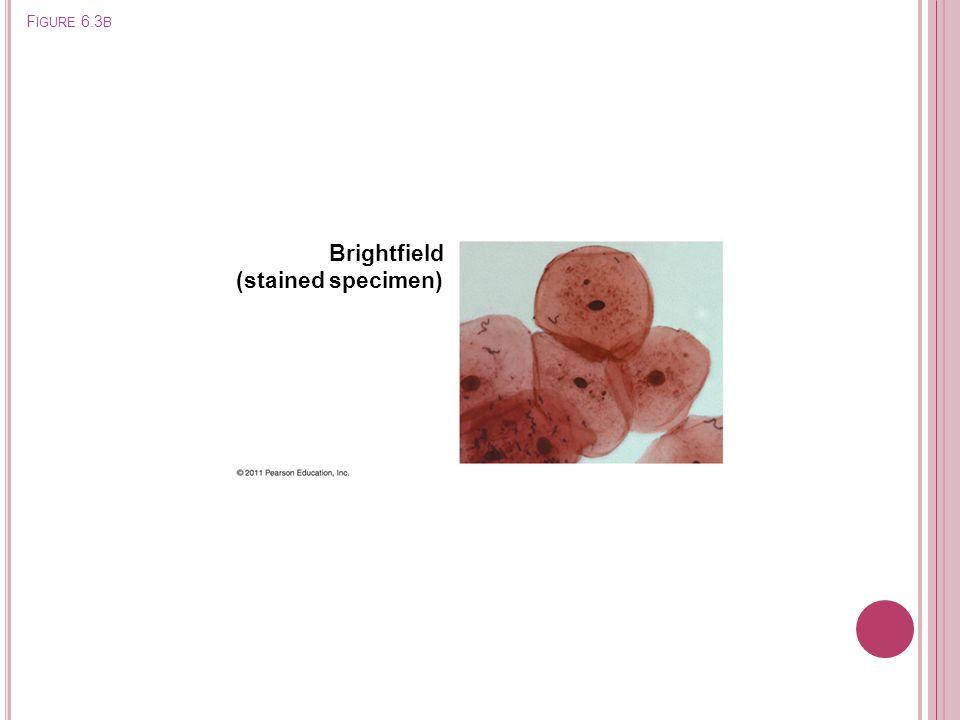 Brightfield (stained specimen) Figure 6.3b