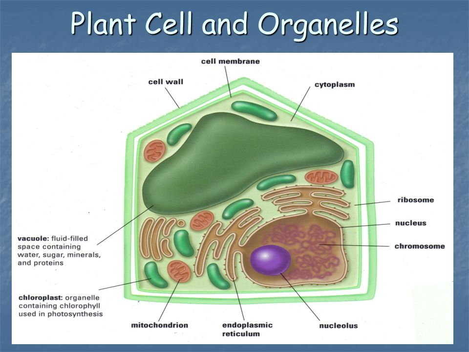 Plant Cell and Organelles