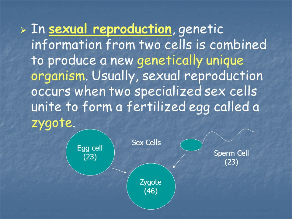 In sexual reproduction, genetic information from two cells is combined to produce a new genetically unique organism. Usually, sexual reproduction occurs when two specialized sex cells unite to form a fertilized egg called a zygote.