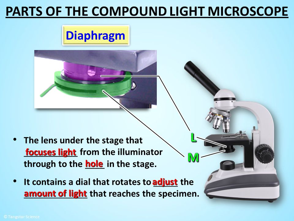 PARTS OF THE COMPOUND LIGHT MICROSCOPE
