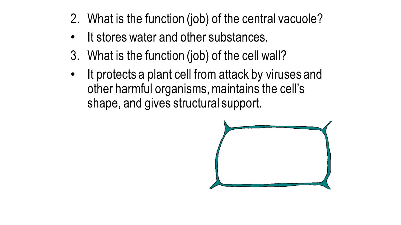 What is the function (job) of the central vacuole