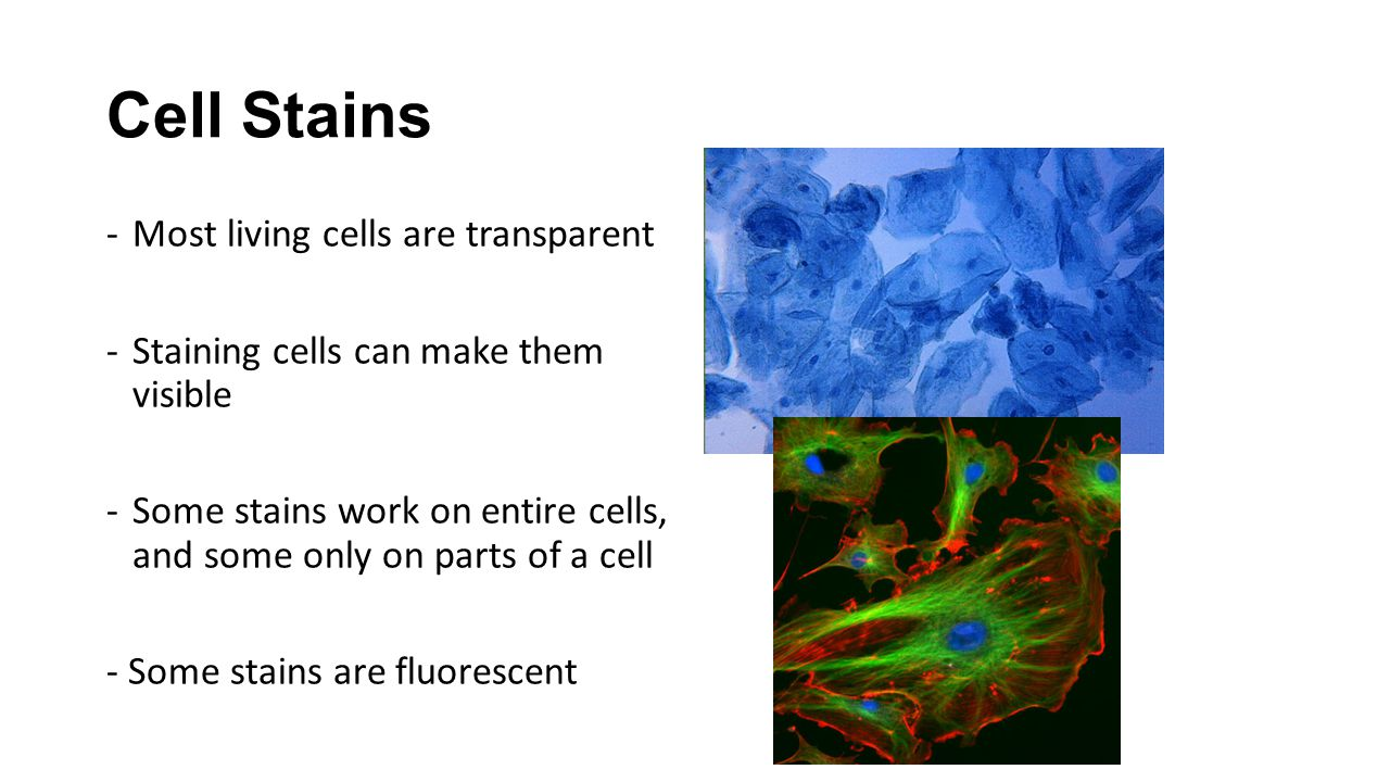 Cell Stains Most living cells are transparent