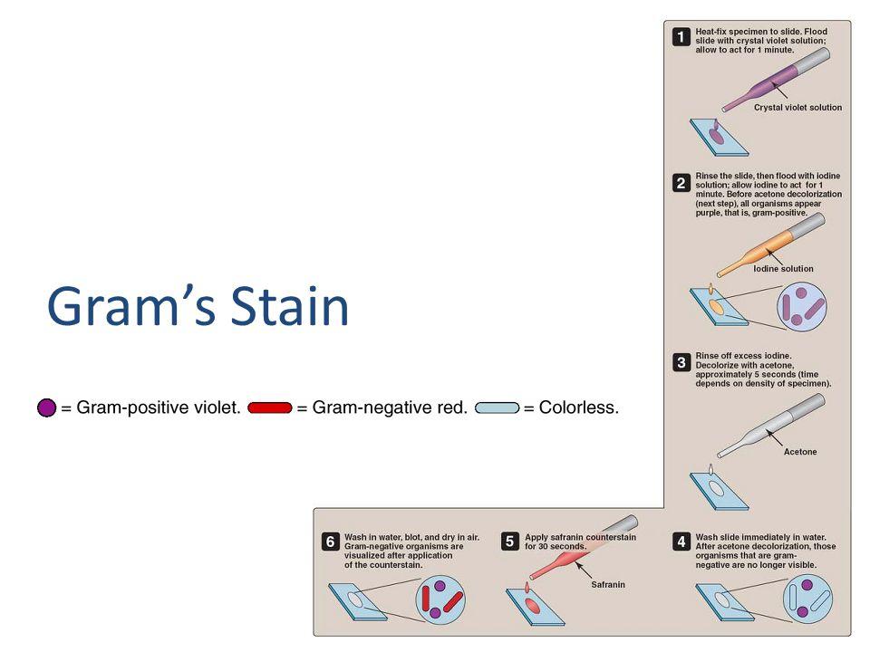 Gram's Stain