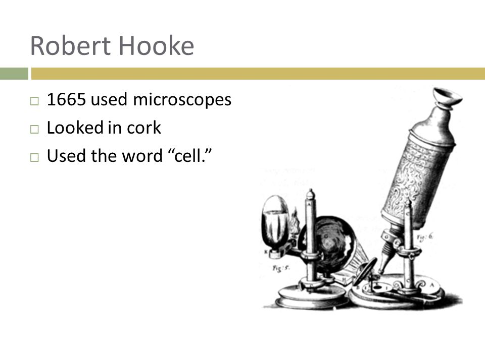 Robert Hooke 1665 used microscopes Looked in cork