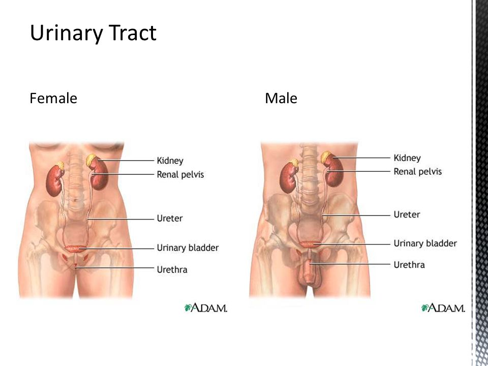 Urinary Tract Female Male