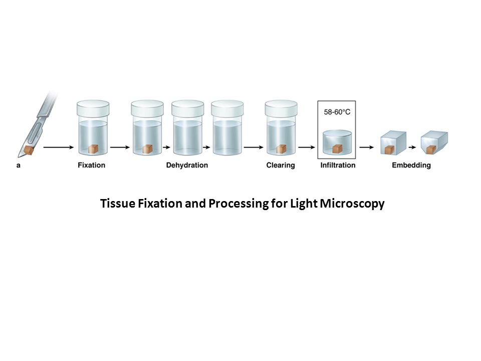 Tissue Fixation and Processing for Light Microscopy