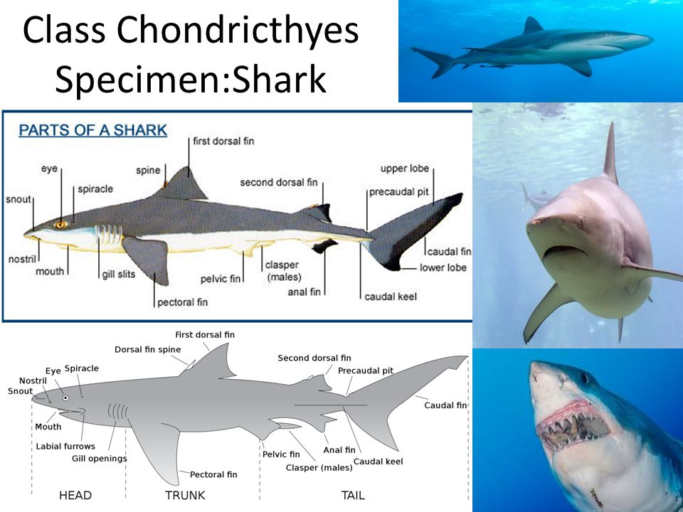 Class Chondricthyes Specimen:Shark