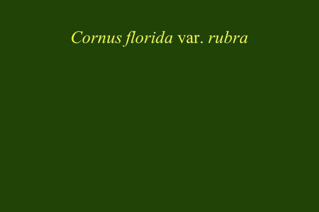 Cornus florida var. rubra