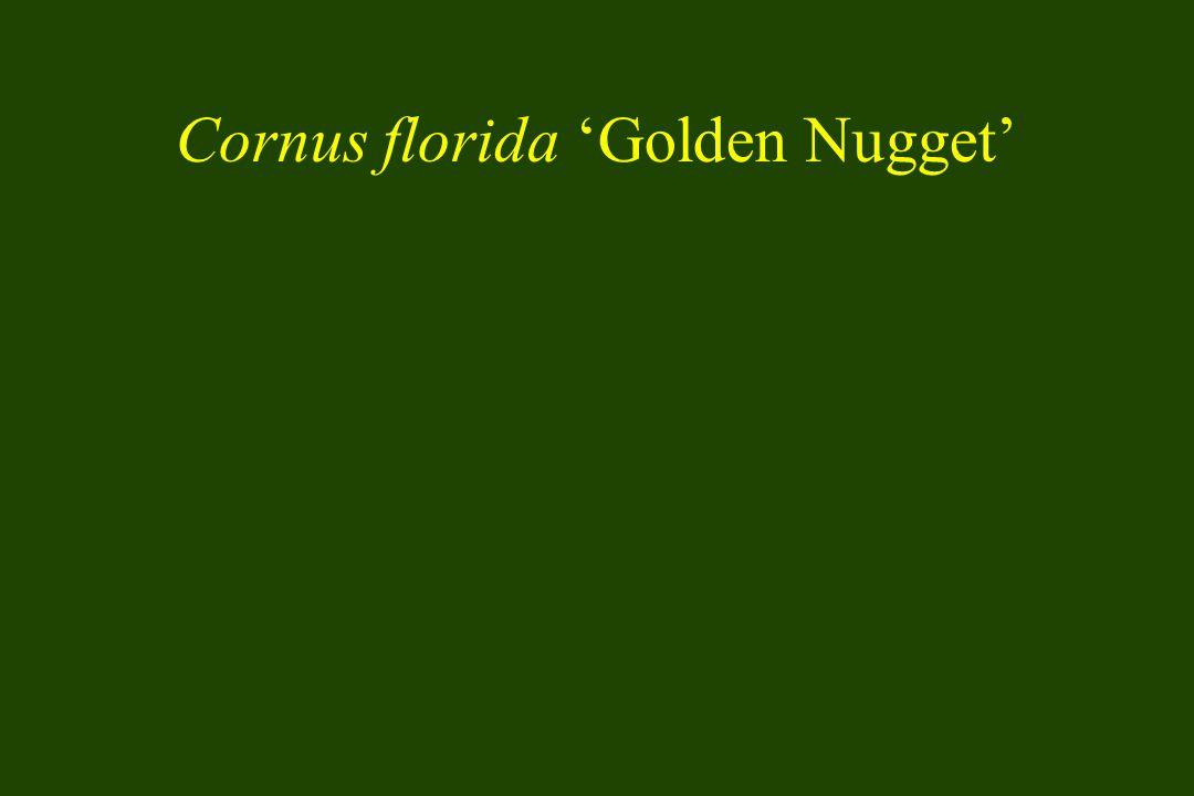 Cornus florida 'Golden Nugget'