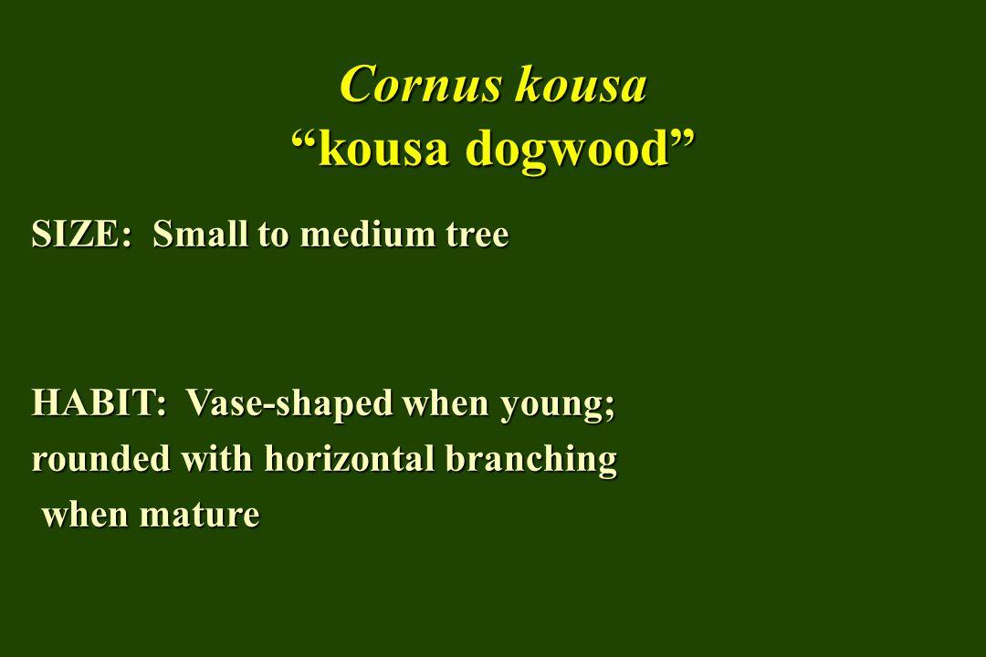 Cornus kousa kousa dogwood