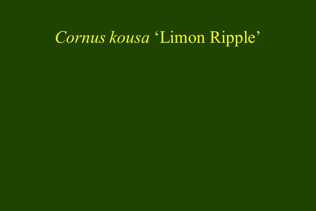 Cornus kousa 'Limon Ripple'