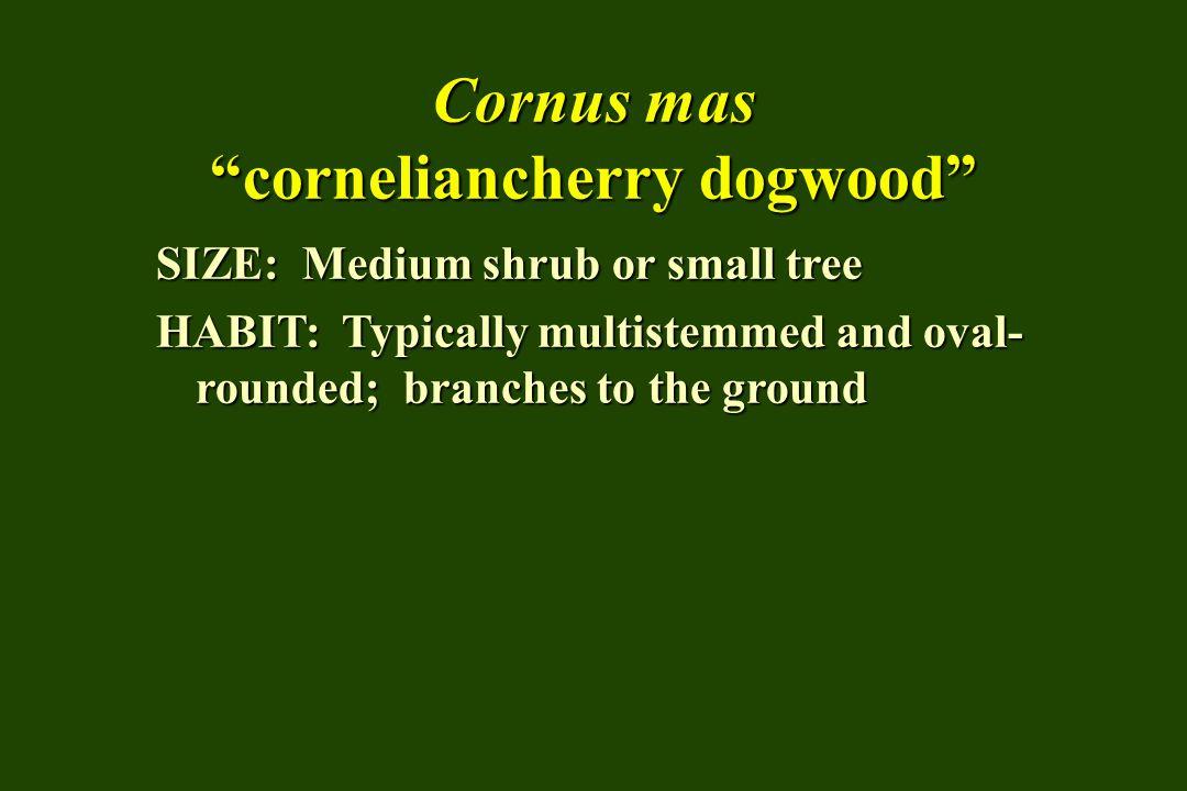 Cornus mas corneliancherry dogwood