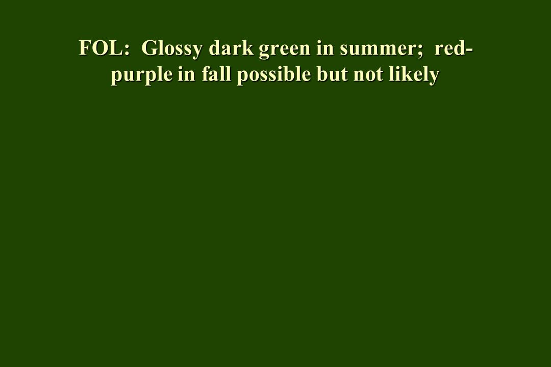 FOL: Glossy dark green in summer; red-purple in fall possible but not likely