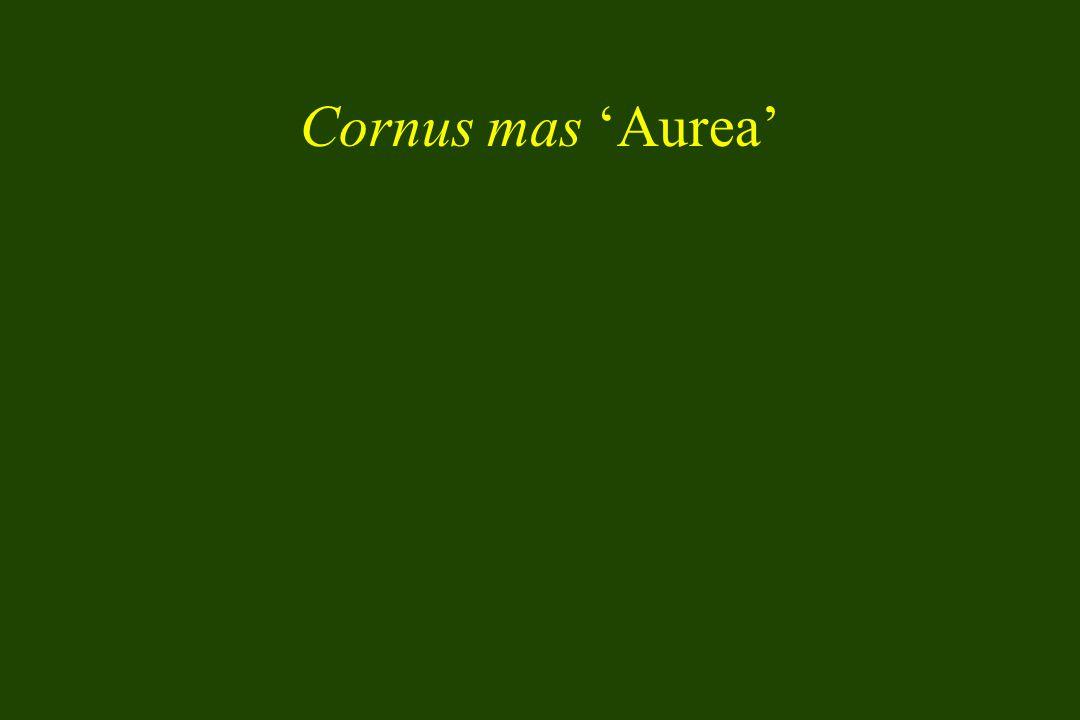 Cornus mas 'Aurea'