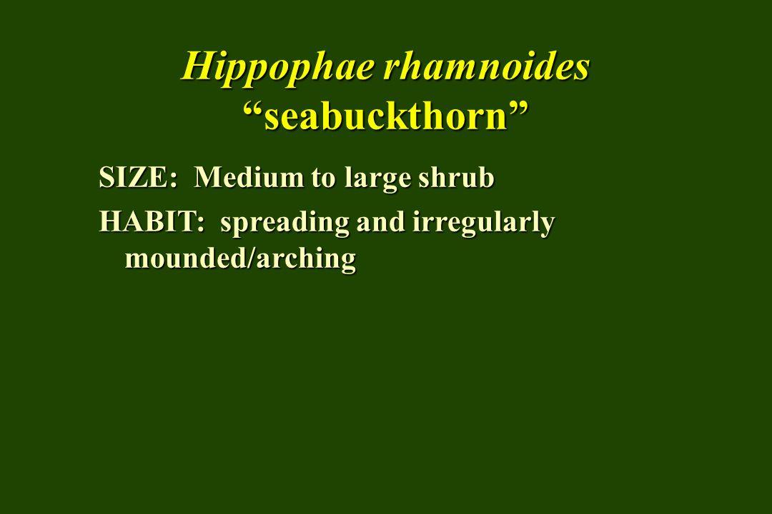 Hippophae rhamnoides seabuckthorn