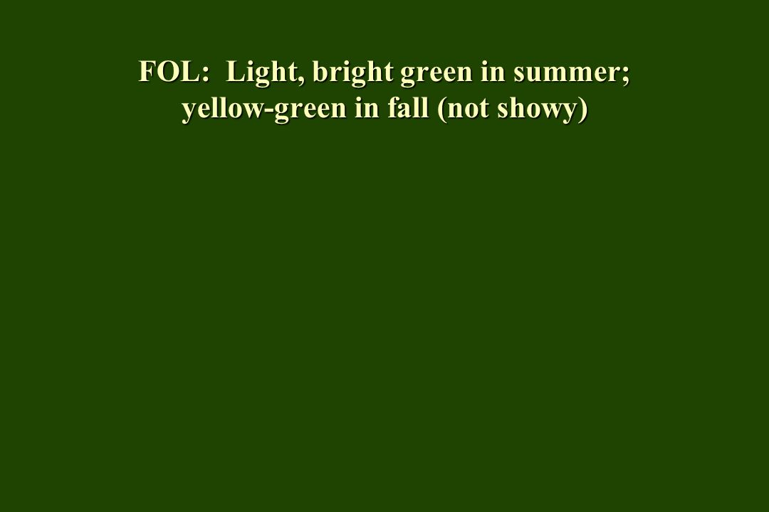 FOL: Light, bright green in summer; yellow-green in fall (not showy)