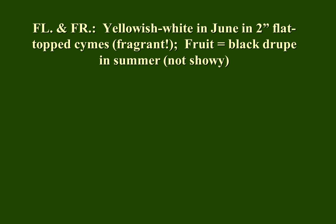 FL. & FR. : Yellowish-white in June in 2 flat-topped cymes (fragrant