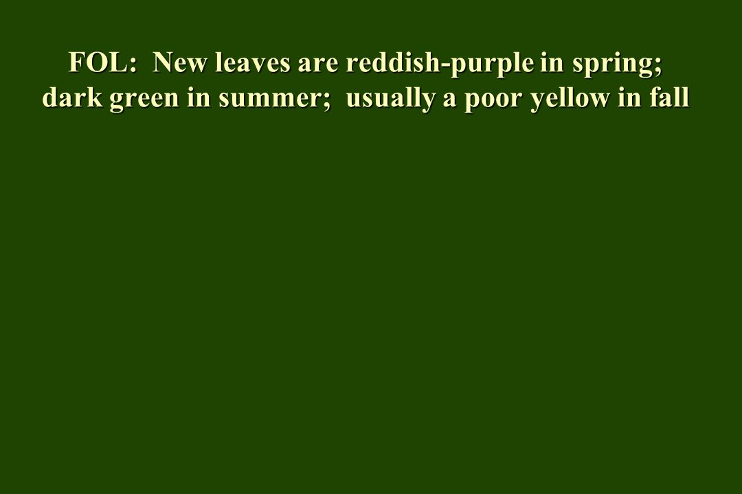 FOL: New leaves are reddish-purple in spring; dark green in summer; usually a poor yellow in fall