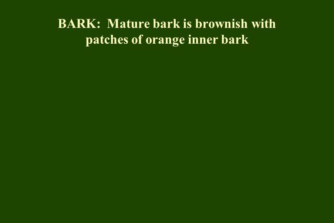BARK: Mature bark is brownish with patches of orange inner bark