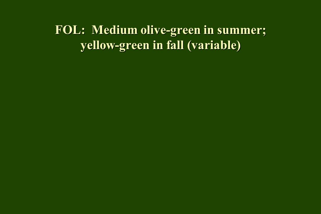 FOL: Medium olive-green in summer; yellow-green in fall (variable)