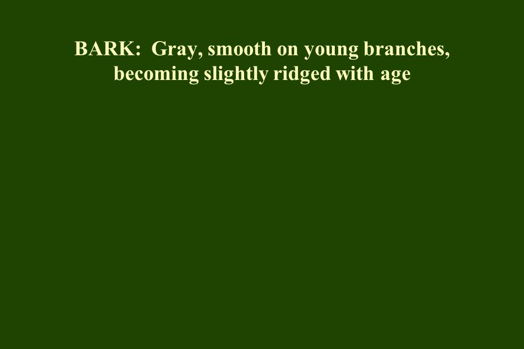 BARK: Gray, smooth on young branches, becoming slightly ridged with age
