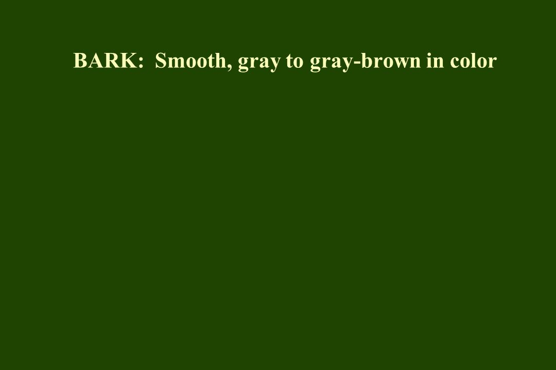 BARK: Smooth, gray to gray-brown in color