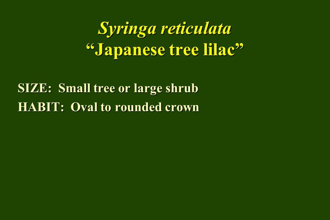 Syringa reticulata Japanese tree lilac