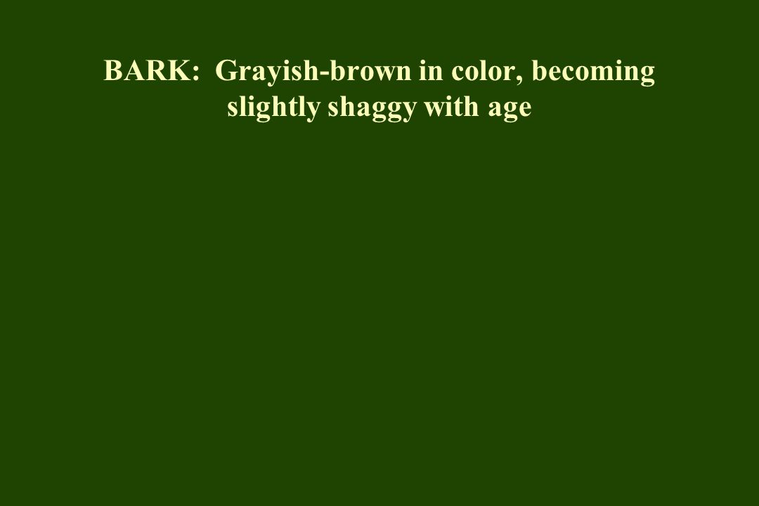 BARK: Grayish-brown in color, becoming slightly shaggy with age