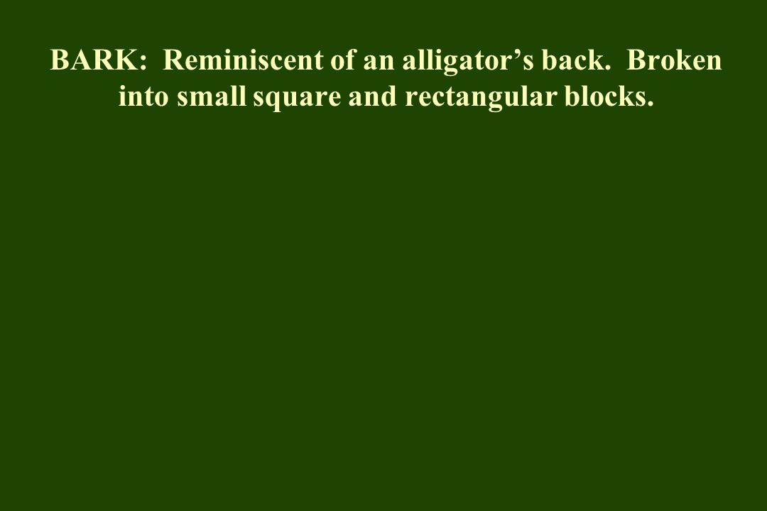 BARK: Reminiscent of an alligator's back