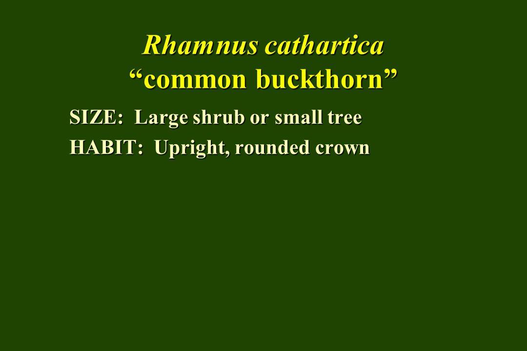 Rhamnus cathartica common buckthorn