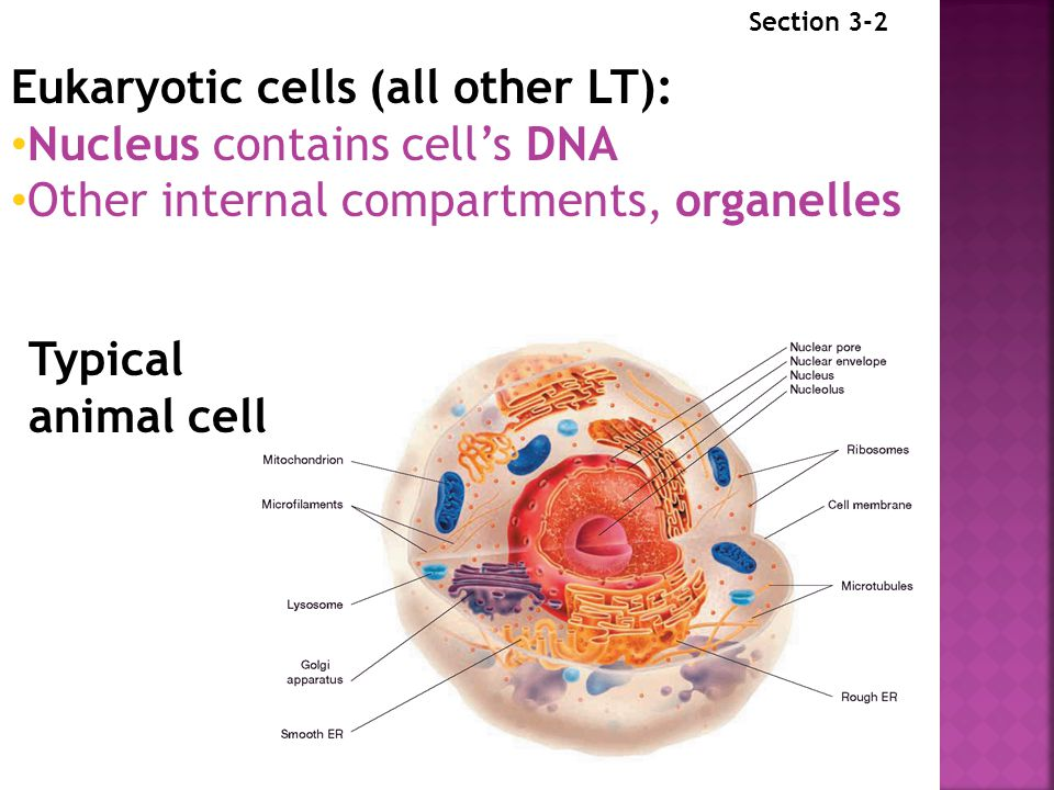 Eukaryotic cells (all other LT): Nucleus contains cell's DNA