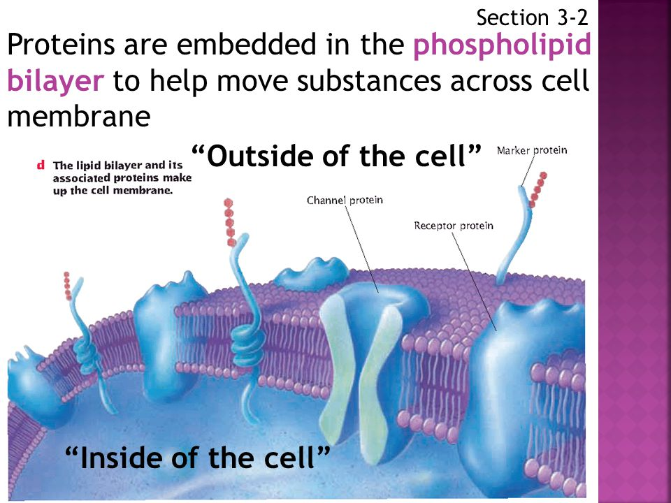 Section 3-2 Proteins are embedded in the phospholipid bilayer to help move substances across cell membrane.