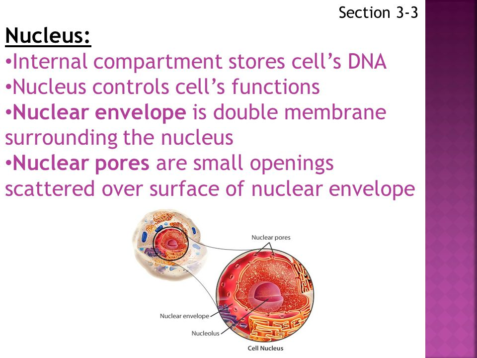 Internal compartment stores cell's DNA