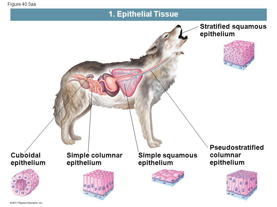 1. Epithelial Tissue Stratified squamous epithelium Pseudostratified