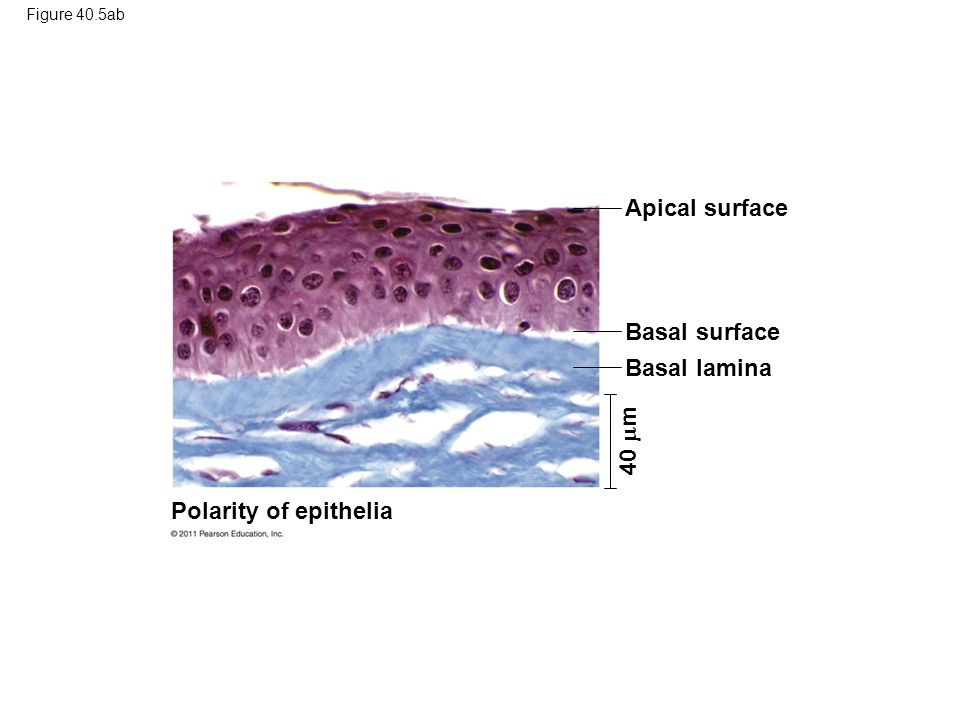 Apical surface Basal surface Basal lamina 40 m Polarity of epithelia