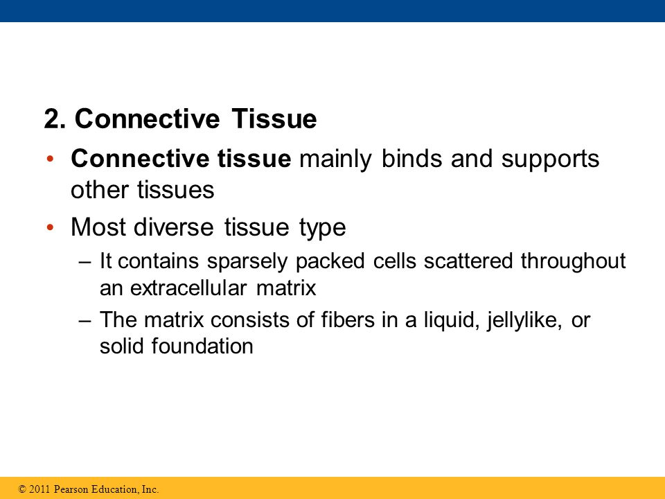 2. Connective Tissue Connective tissue mainly binds and supports other tissues. Most diverse tissue type.