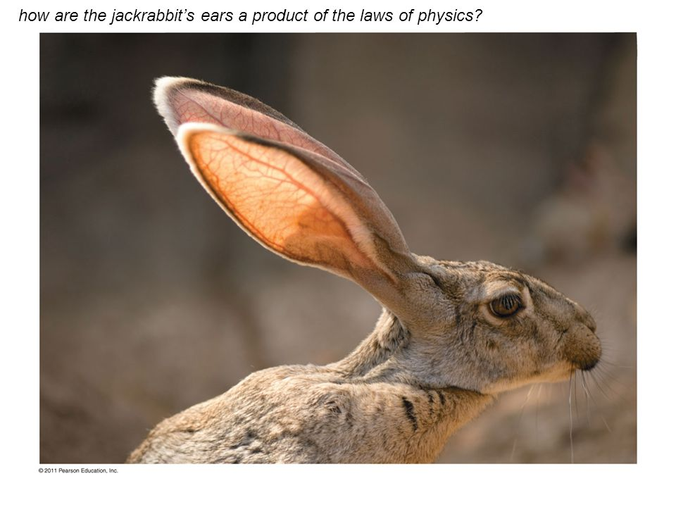 how are the jackrabbit's ears a product of the laws of physics