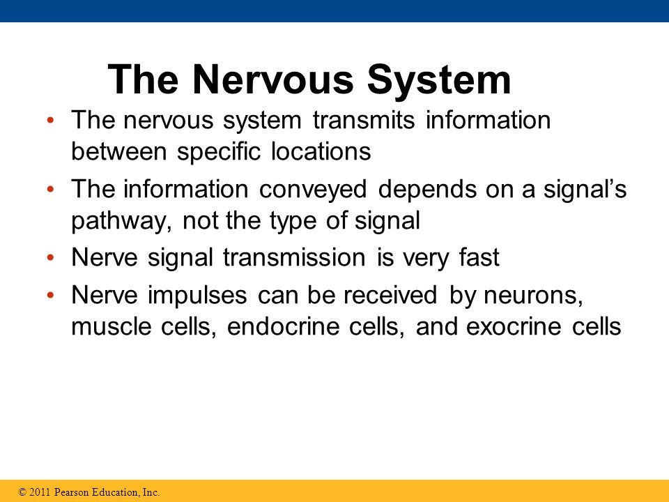 The Nervous System The nervous system transmits information between specific locations.