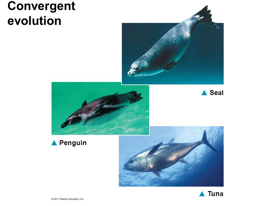 Convergent evolution Seal Penguin Tuna