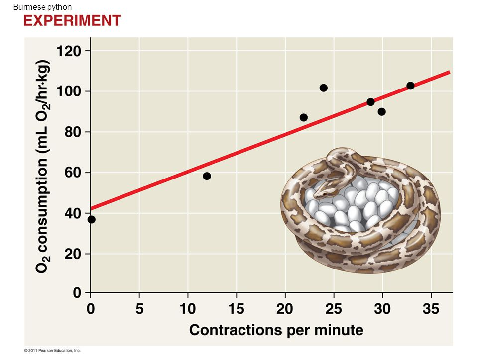 Burmese python Figure 40.14 Inquiry: How does a Burmese python generate heat while incubating eggs