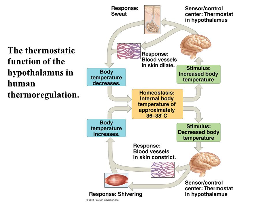 The thermostatic function of the hypothalamus in human thermoregulation.