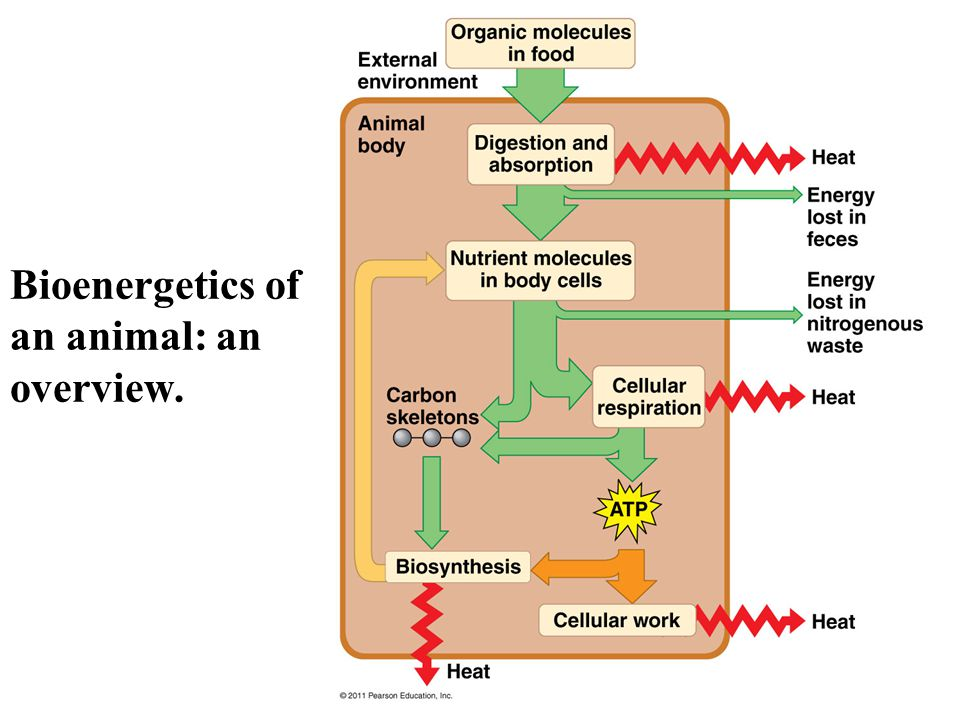 Bioenergetics of an animal: an overview.